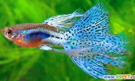 鱼绦虫病的预防与治理(图)