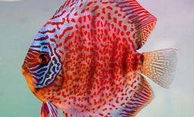 七彩神仙鱼的繁育小常识