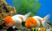 金鱼繁殖技术的两个要点