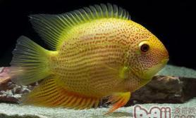 菠萝鱼生长繁殖情况介绍