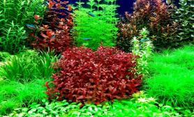 请大家欣赏我的菜园子鱼缸水草造景图片