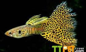 如何准备饲养孔雀鱼的灯具