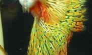 怀孕期孔雀鱼饲养注意问题