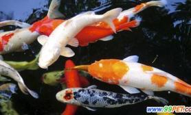 宜春锦鲤养殖基地落成首期目标年产锦鲤4万尾(图)