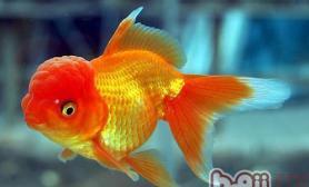 金鱼饲料的种类有哪些