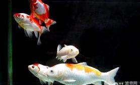 锦鲤鱼适合什么样的生活环境
