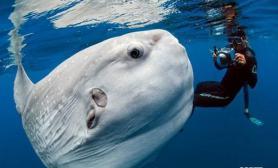 摄影师拍到似外星生物翻车鱼(多图)