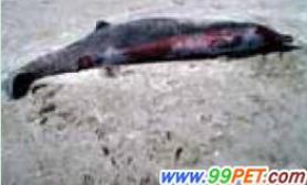 世界最罕见鲸鱼(图)