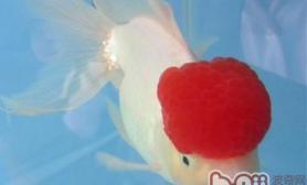 鹤顶红金鱼的饲养环境