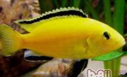 非洲王子鱼的雌雄鉴别