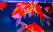 草金鱼的换水方法及注意事项(图)
