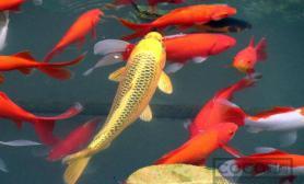 独家盘点 饲养锦鲤鱼的注意事项