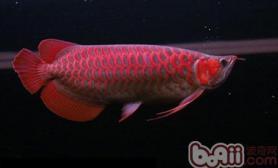 红龙幼鱼如何鉴别体型