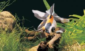 了解下金鱼发病的原因(图)
