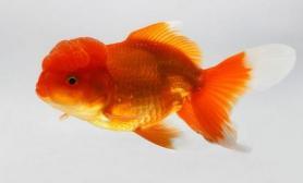 为什么金鱼吃东西后要吐出来