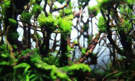 水草造景(60CM)妖精深林完美造景