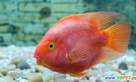 鹦鹉鱼到底能和什么鱼混养(图)