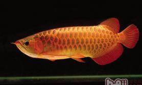 各种龙鱼的外部特征介绍