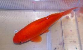 金鲫鱼的种类特点介绍(图)