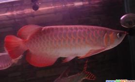 挑选红龙鱼时的审美标准(图)