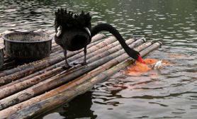 杭州黑天鹅吃稻谷时会喂鱼(图)