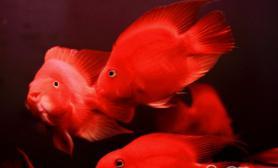 鹦鹉鱼养殖的五大要点