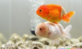 金鱼繁殖期的注意事项(图)