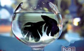 斗鱼生殖期会有哪些表现