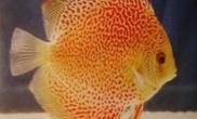 分析七彩神仙鱼患病的原因(图)