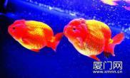 春节观赏鱼展金鱼之王