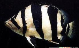 被称为泰国虎的鱼(图)