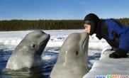 """白鲸最爱和人""""亲吻""""(图)"""