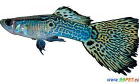 孔雀鱼最佳饲料主要有什么(图)