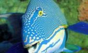 鹦鹉鱼的名由及种族特点(图)
