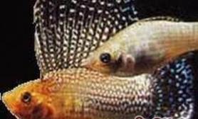 摩利鱼的外形特点