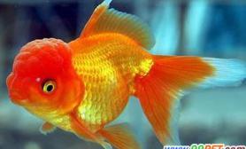 怎样使金鱼更艳丽(图)