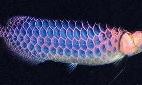 揭秘蓝底过背金龙鱼的蓝底发色原因
