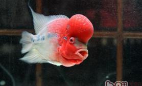 为罗汉鱼制作饲料的注意事项