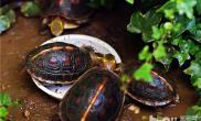 黄缘闭壳龟的挑选方法