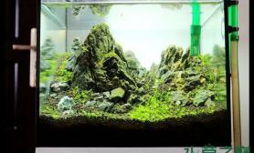 鱼缸造景快成景的小缸石头上长藻了