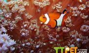 珊瑚的人工繁殖