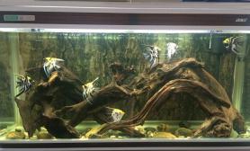 南美风格的沉木缸鱼缸水族箱