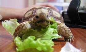 苏卡达陆龟怎么养好养吗