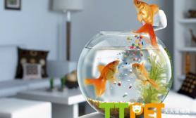 金鱼春天里的饲养方法