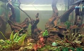 水草造景新弄的沉木主题缸