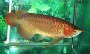 红龙鱼的起源(多图)