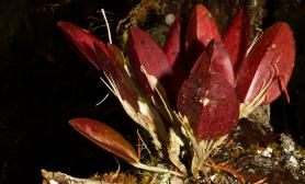植物原生境(Orchidaceae)—Restrepia(Rstp.)甲虫兰属