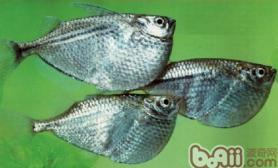 石斧鱼的饲养环境