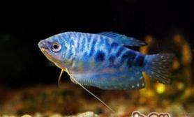 蓝星鱼的品种简介