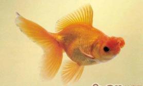 四球红文鱼的资料介绍